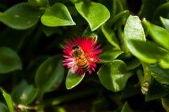 Bi som pollinerar bakgården arkivbild