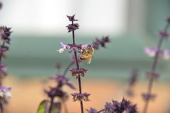 Bi som pollinerar basilikablomman Arkivfoton