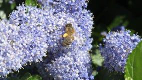 Bi som pollinerar blåa blommor arkivfilmer