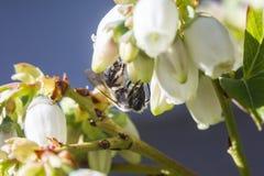 Bi som pollinerar blåbärblomningar royaltyfri fotografi