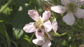 Bi som pollinerar Blackberry blomningar stock video