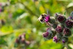 Bi som pollinerar blomma den stora kardborren Royaltyfria Foton