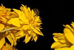 Bi som pollinerar blommarudbeckia, foto på en svart bakgrund royaltyfri foto