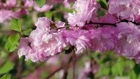 Bi som pollinerar blomningaprikosblomningar close upp stock video