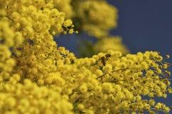 Bi som pollinerar en akaciadealbata Royaltyfri Fotografi