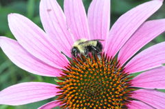 Bi som pollinerar en blomma Royaltyfri Fotografi