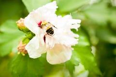 Bi som pollinerar en blomma Arkivbilder
