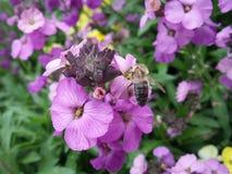 Bi som pollinerar en blomma Fotografering för Bildbyråer