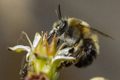 Bi som pollinerar en blomma Royaltyfria Foton
