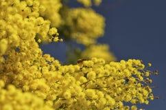 Bi som pollinerar en mimosa Fotografering för Bildbyråer
