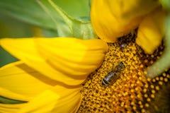 Bi som pollinerar en solros Royaltyfri Bild