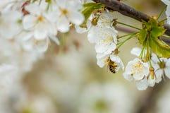 Bi som pollinerar en vit blomma Bi på blomma Biist som samlar honung Royaltyfri Bild