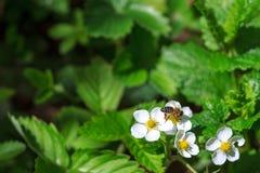 Bi som pollinerar jordgubbeblomningen fotografering för bildbyråer