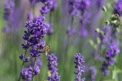 Bi som pollinerar lavendel Arkivbilder