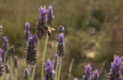 Bi som pollinerar lavendel Arkivfoton