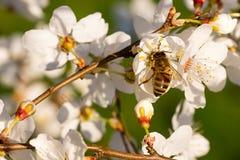 Bi som pollinerar mandelträdet Arkivbild