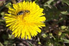 Bi som pollinerar på en maskros fotografering för bildbyråer
