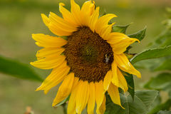 Bi som pollinerar solrosen Arkivbild