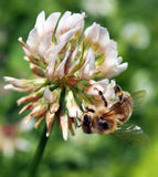 Bi som pollinerar växt av släktet Trifoliumblomman Royaltyfria Bilder