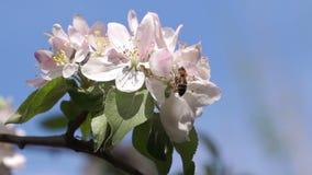 Bi som pollinerar vårblommor stock video