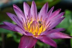 Bi som söker efter föda på lotusblomma Arkivfoton