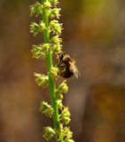 Bi som söker efter föda på stammen av små lösa blommor Fotografering för Bildbyråer
