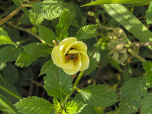 Bi som söker pollen Fotografering för Bildbyråer
