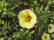 Bi som söker pollen Royaltyfri Fotografi