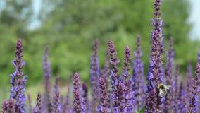 Bi som samlar den Nectar From Purple Flowers In trädgården arkivfilmer