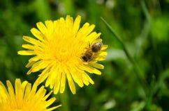 Bi som samlar honung från en blomma Arkivfoto
