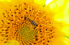 Bi som samlar honung från solrosen Arkivbild