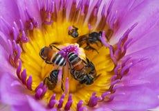 Bi som samlar mat från pollen av lotusblomma royaltyfri bild