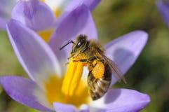 bi som samlar nectar royaltyfria bilder