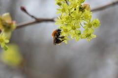 bi som samlar nectar Fotografering för Bildbyråer