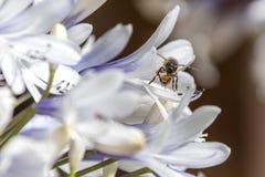 Bi som samlar nektar från en Agapanthusblomma arkivfoton