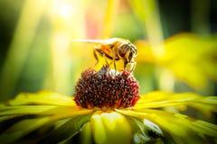 Bi som samlar nektar från en blomma royaltyfri bild