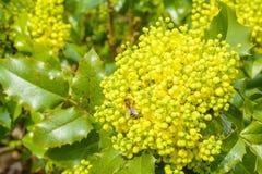 Bi som samlar nektar på en gul blomma Fotografering för Bildbyråer