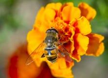 Bi som samlar nektar på en härlig blomma Arkivbild