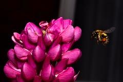 bi som samlar pollen Arkivfoton