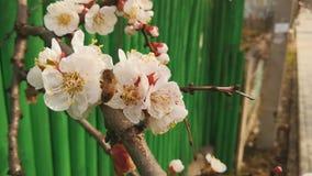 Bi som samlar pollen från en frukt- blomning för körsbärsrött träd mot ett grönt staket, vår arkivfilmer