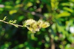 Bi som samlar pollen från blommande den sh vårpussy-pilen - Royaltyfria Foton