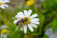 Bi som samlar pollen och nektar från Daisy Chamomile royaltyfria bilder