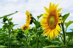 Bi som samlar pollen på blomningsolrosor Arkivbild