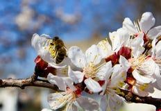 bi som samlar pollen1 Arkivbild