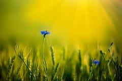 Bi som sitter på ensam blåklint i vetefält på solnedgång slapp fokus mot bakgrund field bl?a oklarheter f?r gr?n vitt wispy natur arkivfoto
