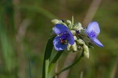 Bi som skördar en spiderwort Royaltyfria Bilder