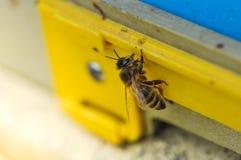Bi som skriver in bikupan Bi som går på ingången till bikupamakroen royaltyfria foton