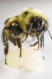 Bi som slickar en boll av honung Arkivfoto