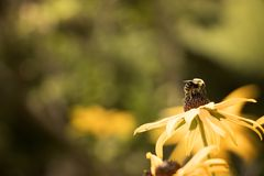 Bi som täckas i pollen på en svart synad Susan blomma Royaltyfria Bilder