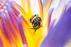 Bi som äter sirap i den Lotus blomman Arkivfoton